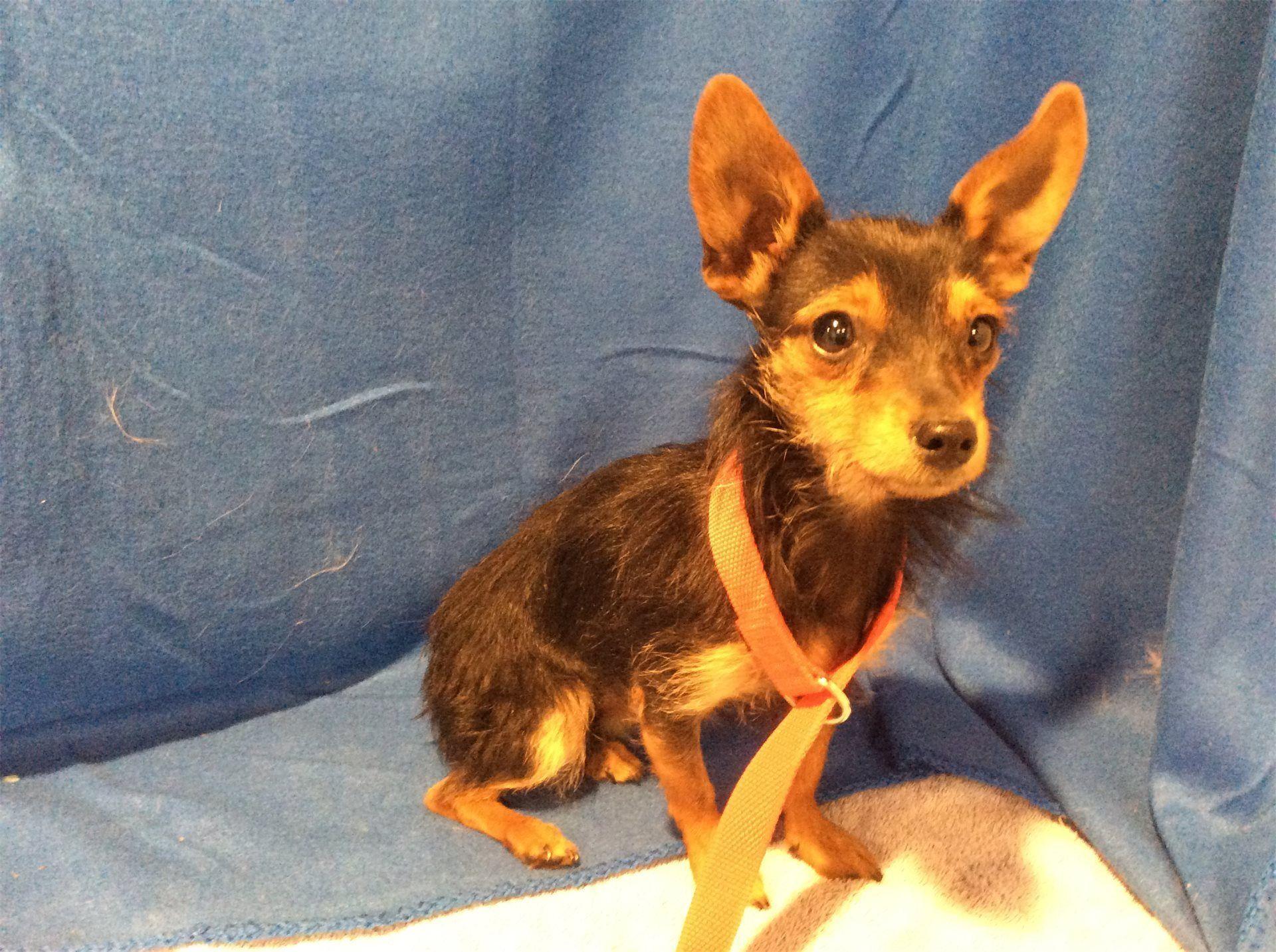 Mutt Dog For Adoption In Pomona Ca Adn 542774 On Puppyfinder Com