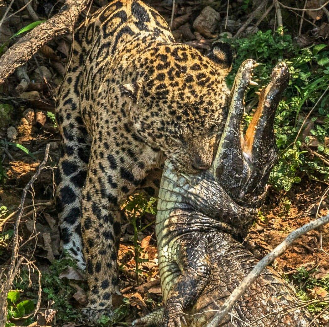 Yellow Jaguar Animal: Jaguar Taking Down A Caiman