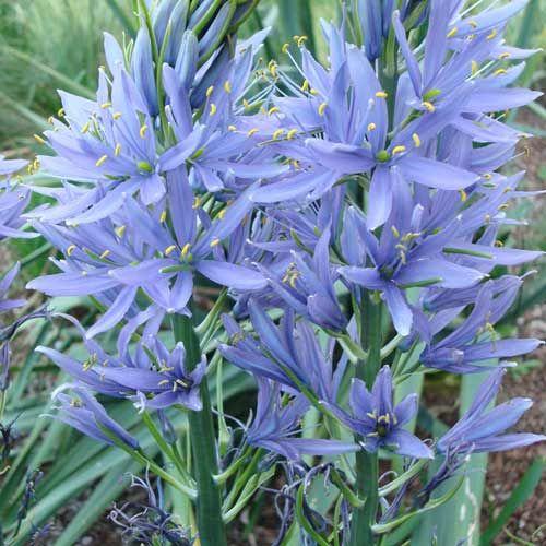 les 25 meilleures id es de la cat gorie fleurs bleues vivaces sur pinterest plante bleue les. Black Bedroom Furniture Sets. Home Design Ideas