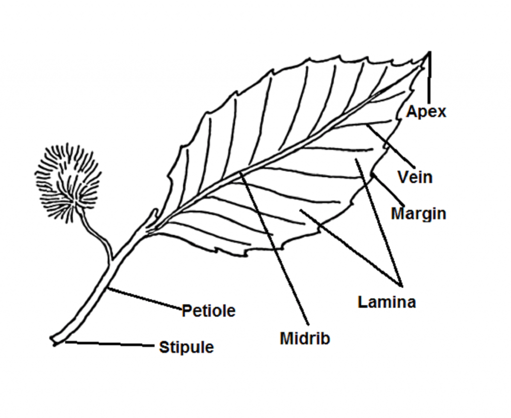 A Leaf Diagram In 2020 Parts Of A Flower Stem Writing China Rose