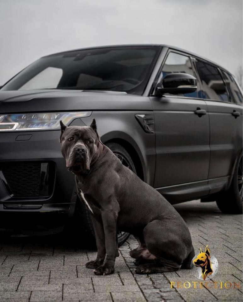 LAX CaneCorso germany 🇩🇪 PDW 14 months old 💪🏼 Dogs