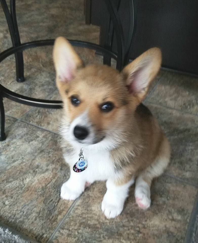 Pin By June Brooks On Dogs Corgi Puppies Dachshund Pictures