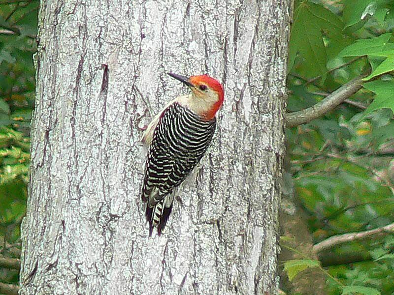 Image from http://www.nhptv.org/wild/images/redbelliedwoodpecker7 ...