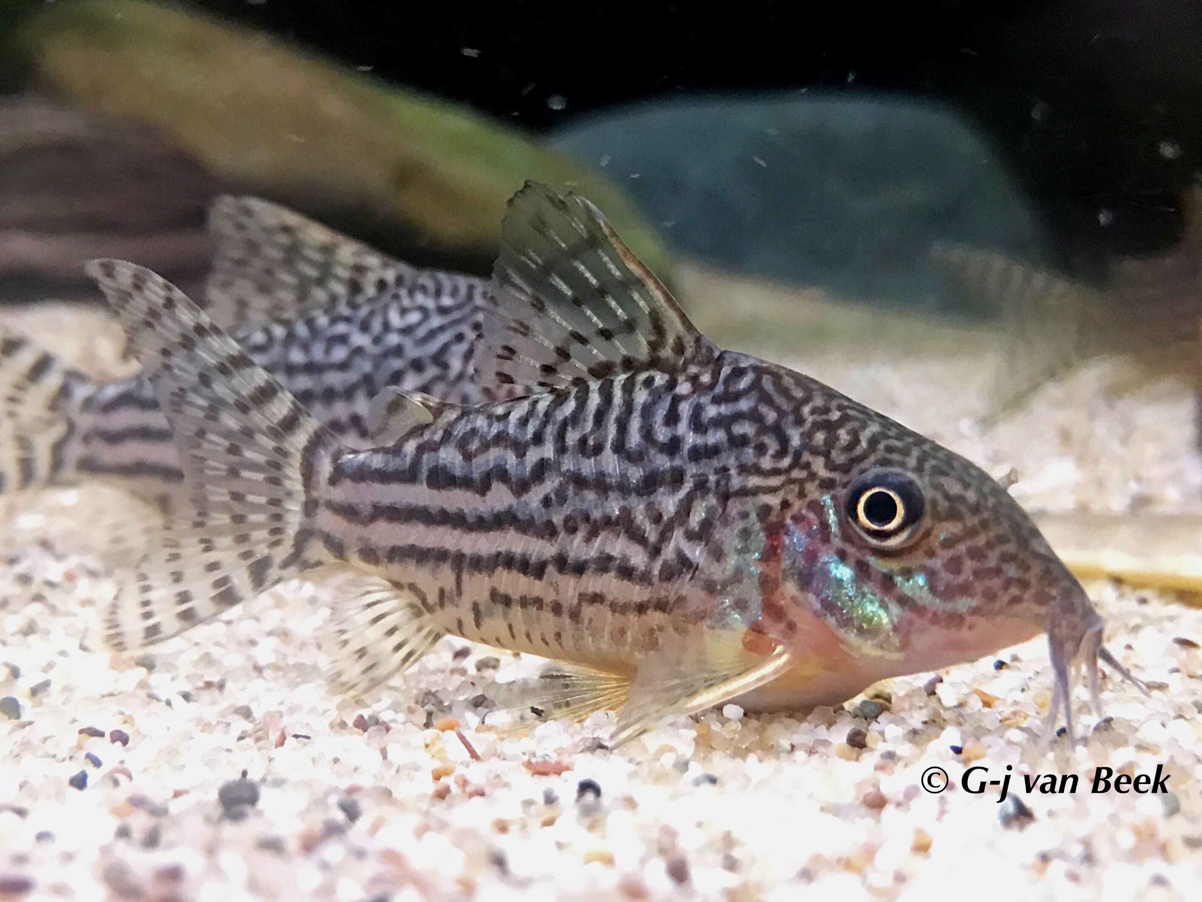 Corydoras Haraldschultzi Aquarium Fish Fish Catfish