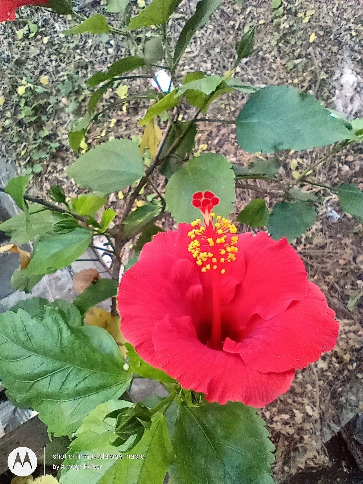 Hibiscus 3 Hibiscus Plants Garden