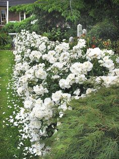 Rose white fairy google search garden ideas parua bay a hedgerow of flower carpet white helps to give the appearance of a wider yard mightylinksfo Image collections