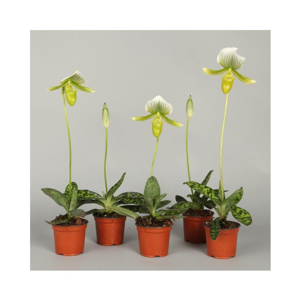 Orchidee Sabot De Venus Paphiopedilum Maudiae Femma Plants Orchids Planters