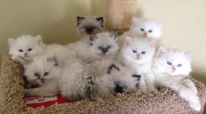 Cat Facts And Information About Himalayan Indian Cat Breed In 2020 Himalayan Kitten Himalayan Cat Cat Breeds