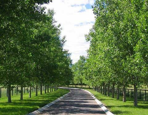 hybrid poplar an extremely hard vigorous tree known for