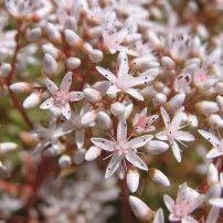 Les créations : L'Orpin Blanc Les élixirs floraux de Flora   La pharmacie du Coeur
