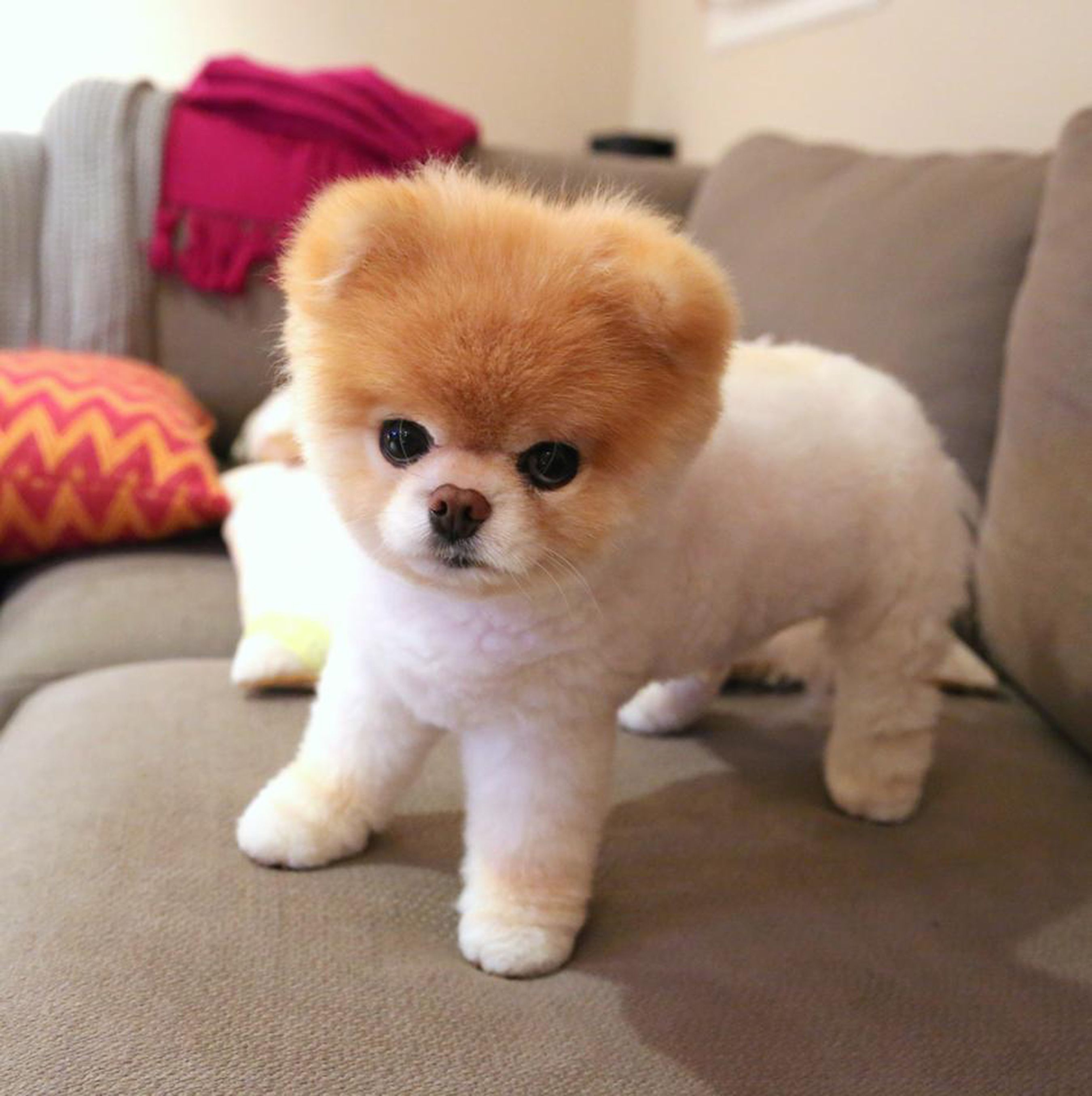 Boo The Pomeranian Once Named The World S Cutest Dog Dies