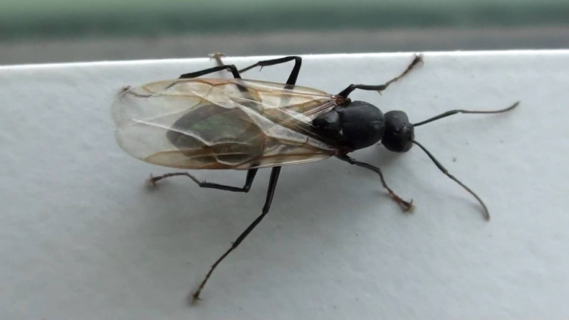 Black Carpenter Ant Formicidae Camponotus Winged Male Black Carpenter Ants Carpenter Ant Black Ants With Wings