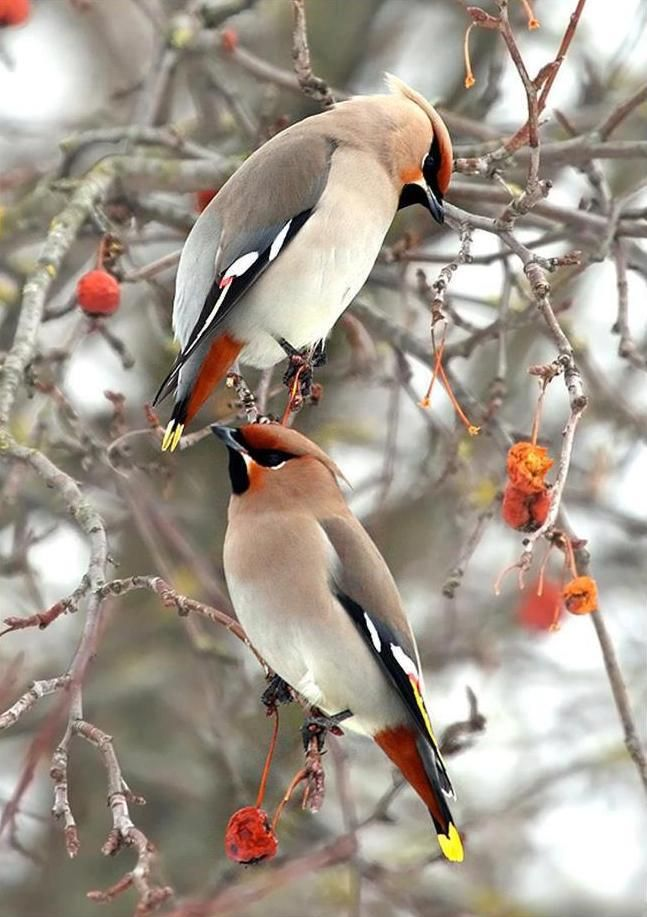 Pretty Birds- Cedar wax wings