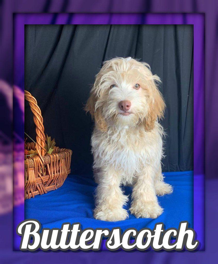 Butterscotch Male Cockapoo 600 Cockapoo Cockapoo Puppies For Sale Puppies For Sale