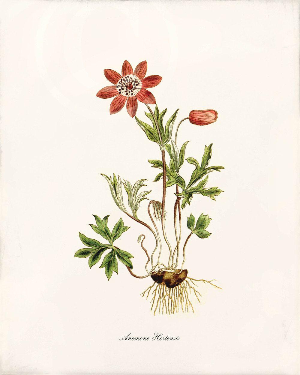 Antique botanical art print 8x10 anemone botanica laminas