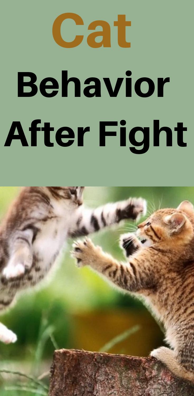 Cat Behaviour After Fight Cat Behavior Cats Fight