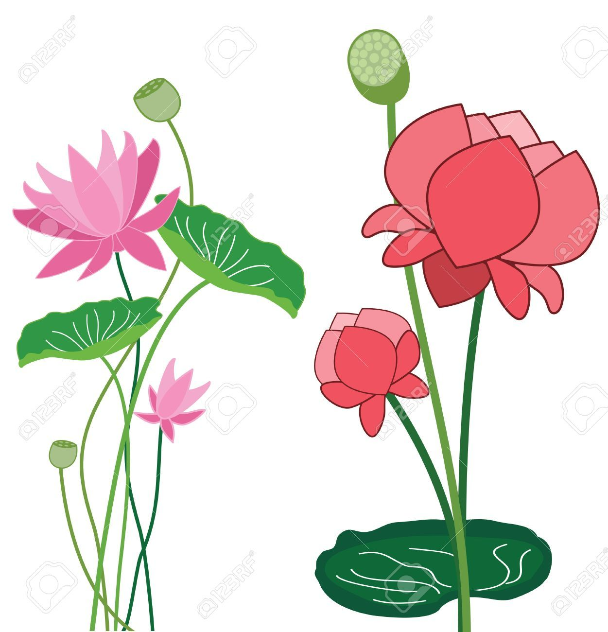 lotus flower Lotus flower Illustration Hoa sen, Hoa