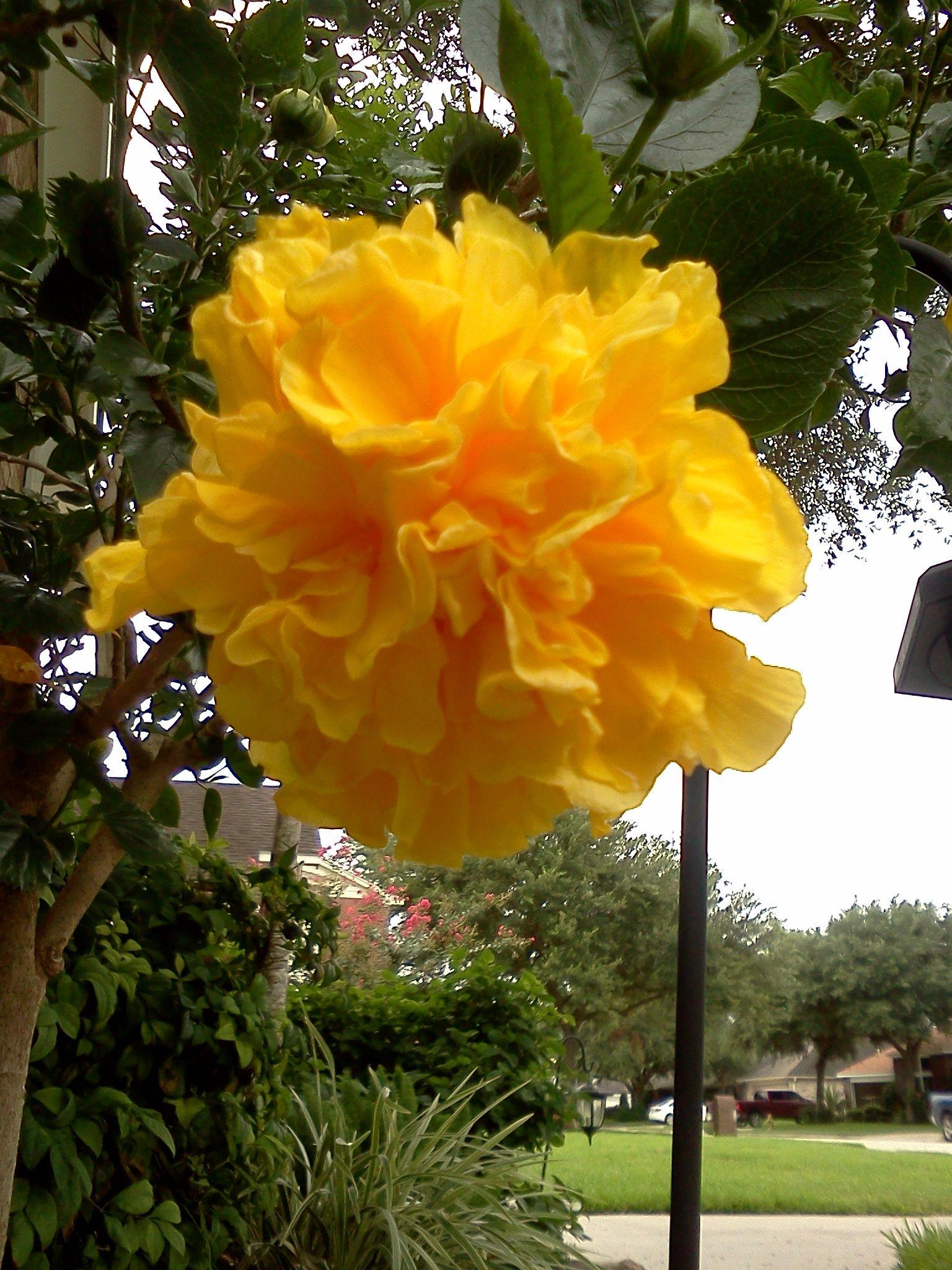 Texas yellow gardenia beautiful flowers pinterest flowers texas yellow gardenia texas yellow gardenia beautiful flowers izmirmasajfo
