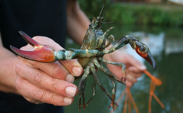 how to catch crayfish in uk rivers