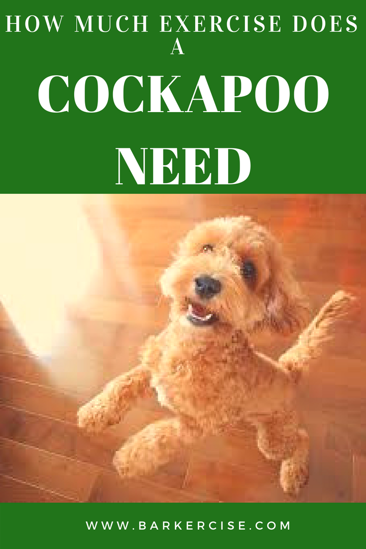 How much exercise does a Cockapoo (Spoodle) need