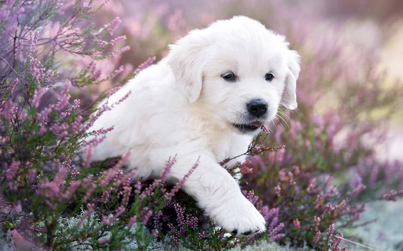Best Golden Retriever Names Over 150 Amazing Ideas Golden