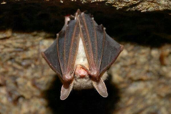 A little brown bat.