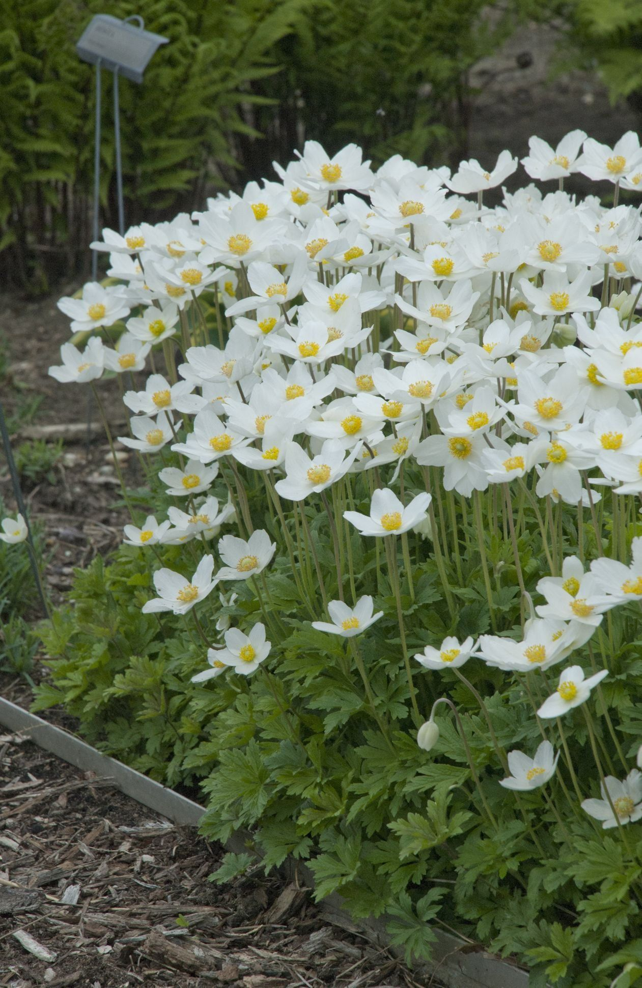 Anemone sylvestris snowdrop wonderful anemone white