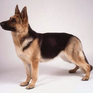 Funny German Shepherd Videos Short Haired