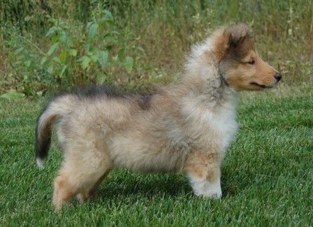 Pin By Allan Bush On Collies N Cockers Rough Collie Collie Breeds Collie Puppies
