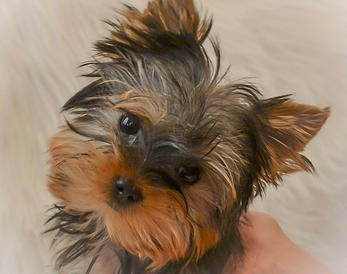 Northshore Yorkshire Terriers Yorkie Puppies For Sale In
