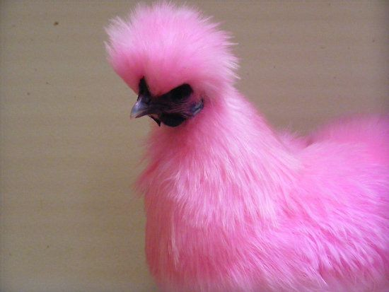 how to cook silkie chicken