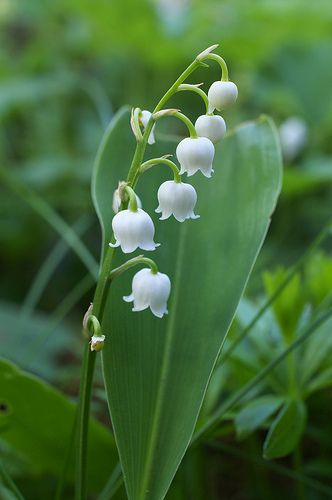 "Lily of the Valley is ""my"" flower, because I was born in May (note to other people born in May, I'm sorry, but you'll have to find another flower). I love these, and I've never tried to grow them so I don't know if they're difficult and fussy."