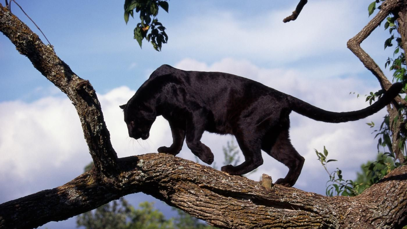 How many black panthers are left in the world? Black