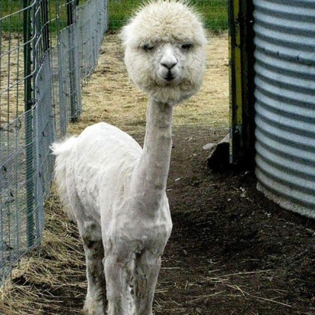 Picture Of A Llama Crying: Baby Alpacas - Google Search
