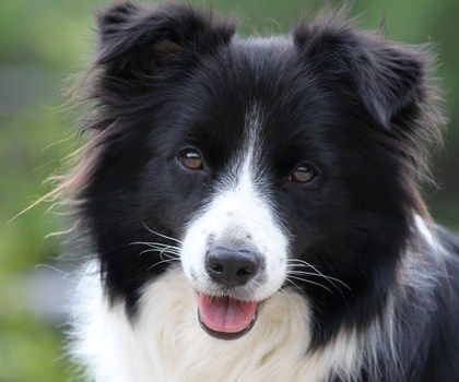 Border Collie Club Nsw Dog Lovers Show Sydney Collie Puppies