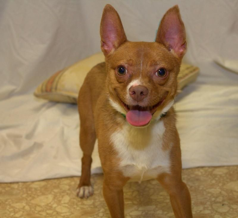 Adopt Ace On Dog Rescue Basenji Dogs Dogs Chihuahua Mix