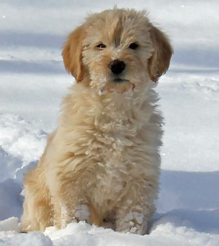Golden Retriever Labrador Retriever Poodle Mix Labradoodle