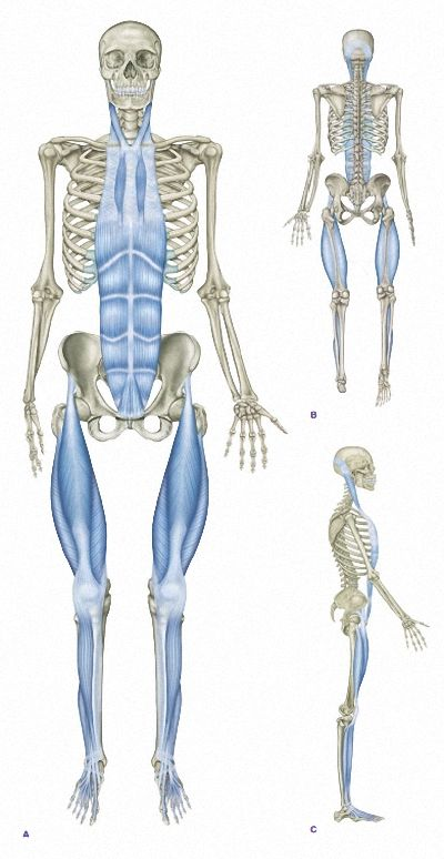 Myofascial Chain Superficial Front Line Anatomy Pinterest