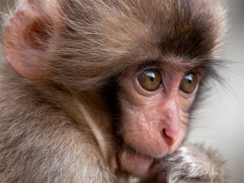 Baby snow monkey macaque Seen