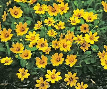 Lobed Coreopsis or Dwarf Tickseed (Coreopsis auriculata)