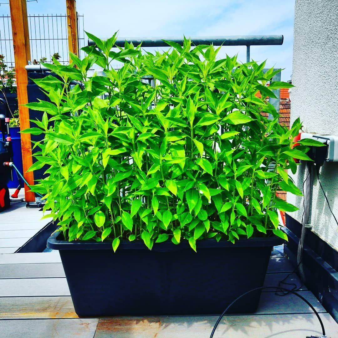 Der Topinambur Wachst Und Wachst Terrassengarten Terrasse Balkon Balkongarten Dachgarten Dachterrasse Ins Balkongarten Terrassengarten Stadtgarten