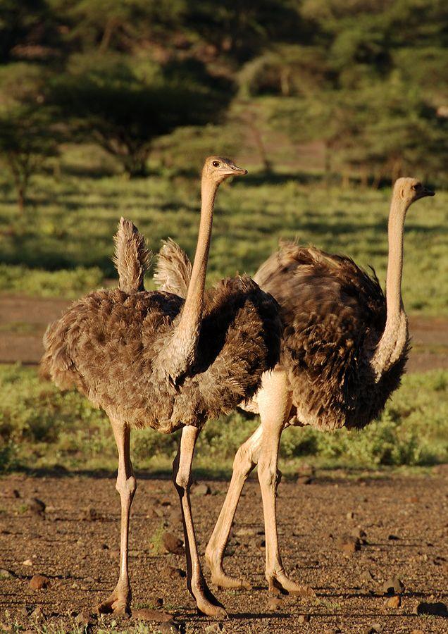 Kenya Africa Highlights Fotogaleriehasek Cz Big Bird Ostriches Ostrich
