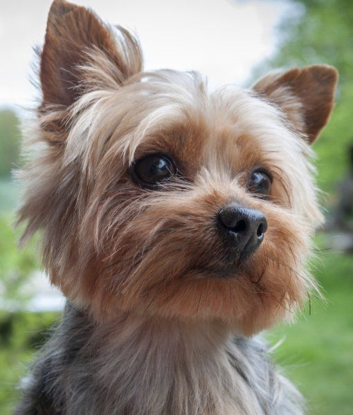 10 cool facts about yorkshire terriers dogs yorkies and mixed yorkies pinterest hunde. Black Bedroom Furniture Sets. Home Design Ideas