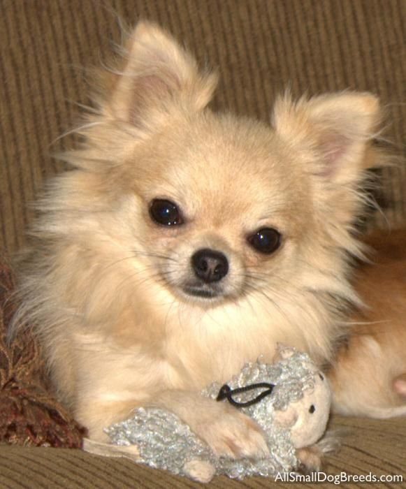 Odakota Chihuahua Long Coat Small Dogs Dog Breeds