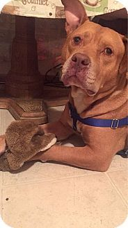 New York, NY - Pit Bull Terrier Mix. Meet Rocky a Dog for Adoption.
