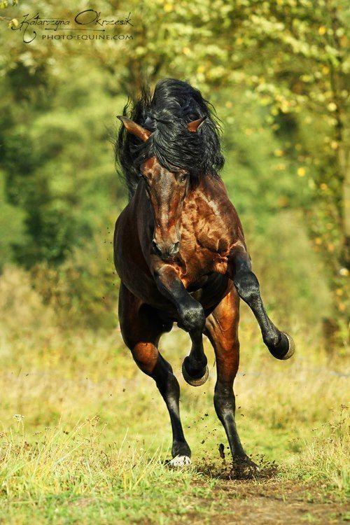 Horse /  Farolero XLVI, PRE bay  stallion. by Katarzyna Okrzesik.