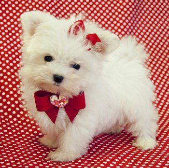 So Adorable Micro Teacup Maltese These Little Ones Can Cost Upto