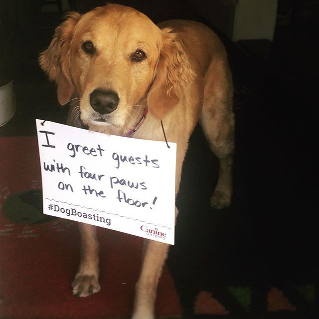 Zeus' parents aren't embarrassed to have company over anymore. He's learned how to greet guests politely, with four paws on the floor thanks to his Manners Obedience Training! #DogBoasting #caninecompany #gooddog #dogmanners