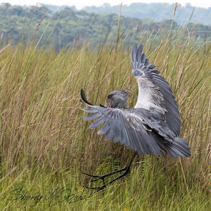 A shoebill stork landing at Mabamba Swamps in Uganda by Sherry McKelvie Wildlife Photography