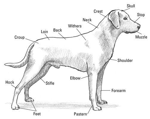 Labrador Retrievers For Dummies Cheat Sheet Dog Anatomy Dogs